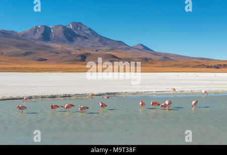 The Canapa Lagoon with many James' and Chilean flamingos feeding on algae and microscopic shrimps with their beak that functions as a filter, Bolivia. - Stock Photo