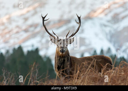 Red deer stag / male (Cervus elaphus) on moorland in the hills in winter in the Scottish Highlands, Scotland, UK - Stock Photo