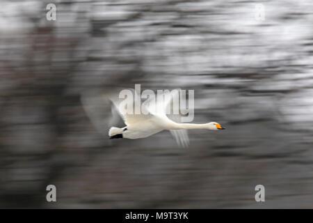 Motion blurred whooper swan (Cygnus cygnus) flying past trees in winter - Stock Photo