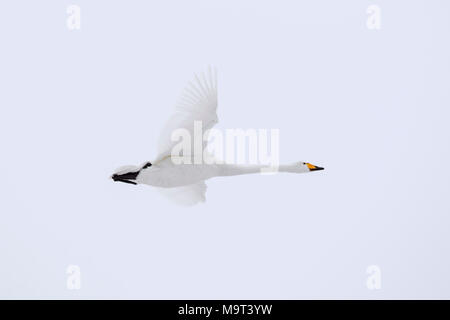 Whooper swan (Cygnus cygnus) in flight in winter - Stock Photo