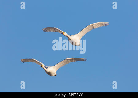 Two whooper swans (Cygnus cygnus) in flight against blue sky - Stock Photo