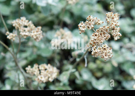 Curry Bush Helichrysum petiolare Imphepho Asteraceae in a garden in Johannesburg, South Africa - Stock Photo