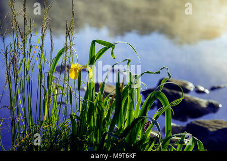 Early morning on lake with fog and golden iris, other swamp plants in natural foreground, dawn, first rays of sun. Concept of seasons, ecology, sunrises and sunsets - Stock Photo