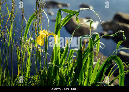 Golden iris, early morning, Wild flower. Summer lake, pond, dawn, first rays of sun. Seasons, ecology, beauty of wild nature - Stock Photo