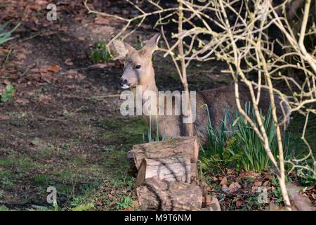 Roe deer (Capreolus capreolus) doe visiting a garden in morning sunlight, beside woodpile and daffodil clumps, Wiltshire, UK, March. - Stock Photo