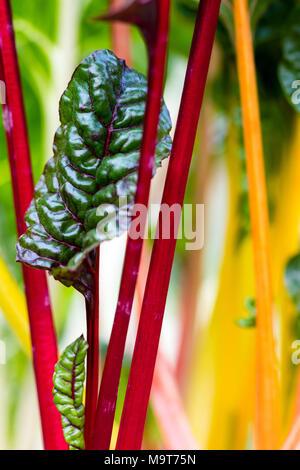 Tender Rainbow Chard leaves close up. - Stock Photo