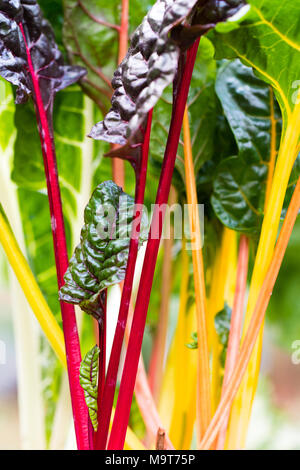 Tender Rainbow Chard leaves close up. - Stock Photo