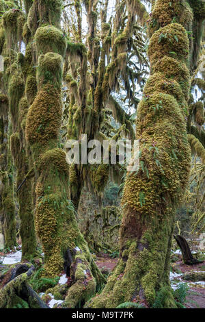 Moss on trees in the Hoh Rain Forest in Olympic National Park. Hoh Rain Forest in Olympic National Park - Stock Photo