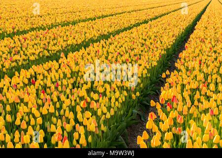 Fields with yellow tulips in  Noordwijkerhout the Netherlands. - Stock Photo