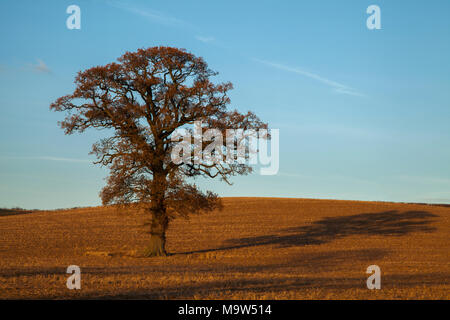 An oak tree in early December hanging on to its golden leaves lit by warm winter sunshine near Holdenby in Northamptonshire, England. - Stock Photo
