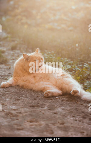 Red lazy cat lying in the sunset, cleaning  herself - Stock Photo