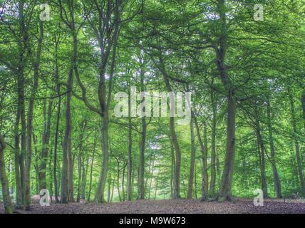 Woodland in Spring in leafy Bucks UK - Stock Photo