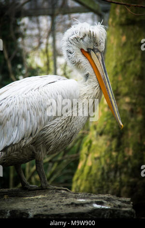 Dalmatian pelican with green tree background - Stock Photo