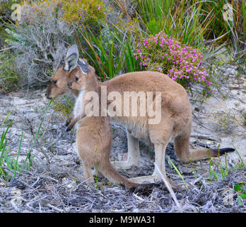 Mother and baby (joey) kangaroo in Lucky Bay campsite in the Cape Le Grand National Park, on the south coast of Western Australia - Stock Photo