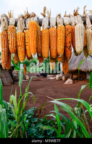 ETHIOPIA, Gambela, village Gog Dipach, people keep maize for the next seeding / AETHIOPIEN, Gambela, Dorf GOG DIPACH der Ethnie ANUAK, Maisernte, Mais fuer die naechste Aussaat - Stock Photo