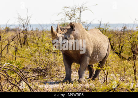 white rhinoceros, Ceratotherium simum, Etosha Nationalpark, Namibia - Stock Photo