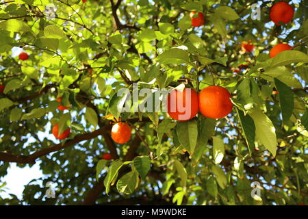 Ripe oranges hanging on a tree, sunlight on the fruits and leaves, Seville - Stock Photo