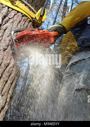 Lumberjack cutting down pine tree in Woodstock, NY - Stock Photo