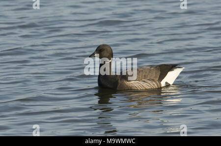 A pretty Brent Goose Branta bernicla swimming in the sea. - Stock Photo