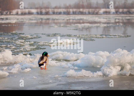 Mallard drake standing alone on ice. - Stock Photo