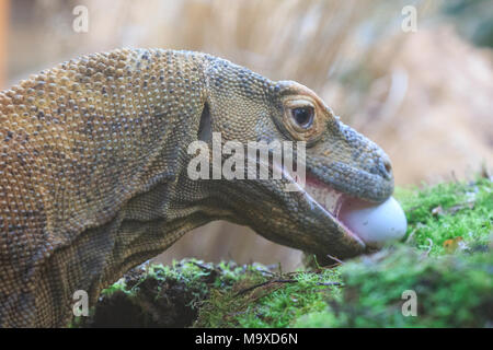 ZSL London Zoo, UK. 29th Mar 2018. Ganas, the ZSL London Zoo resident Komodo dragon ((Varanus komodoensis, also called komodo monitor),  is feasting – on delicious fresh eggs hidden in the Attenborough Komodo Dragon House. Zookeepers have shelled out on an egg-stravagant surprise for ZSL London Zoo's animals to enjoy this week – as the country gets ready to celebrate the Easter weekend. . Credit: Imageplotter News and Sports/Alamy Live News - Stock Photo