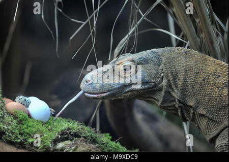 London, UK. 29 March 2018. Ganas the Komodo dragon receives a snack of fresh eggs in the Attenborough Komodo Dragon House as ZSL London Zoo animals enjoy their own Easter treats during a photocall.  Credit: Stephen Chung / Alamy Live News - Stock Photo