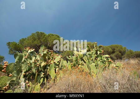 Prickly pears, Opuntia ficus-indica, growing on an estate in Tuscany Italy - Stock Photo