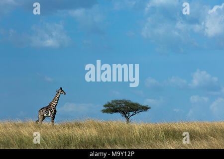 Giraffe on African Savannah - Stock Photo