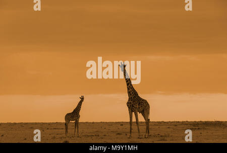 African Giraffes in Savannah - Stock Photo