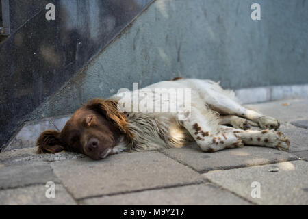 One of the many  lonely dogs that live in the streets of Tirana, sleeping on the street - Stock Photo
