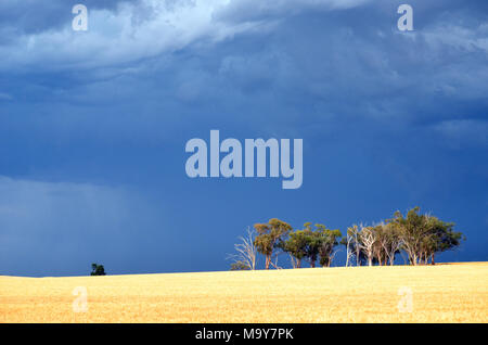 Dramatic dark stormy sky and rain falling over a stand of Eucalyptus trees in farmland, Mid Western Highway,near Grenfell, central west NSW, Australia - Stock Photo