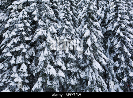 Snow covered coniferous trees on the East slopes of the Cascade Mountains in Washington State - Stock Photo