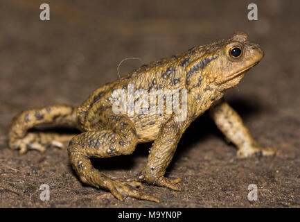Male European Common Toad (Bufo bufo) on the crawl on a rainy night in Yorkshire Northern England. - Stock Photo