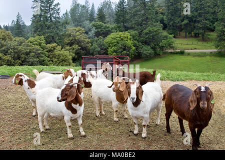 Female Boer Goats  'Capra aegagrus hircus' gathered in area adjoining the barn, waiting to be fed, green pasture. - Stock Photo
