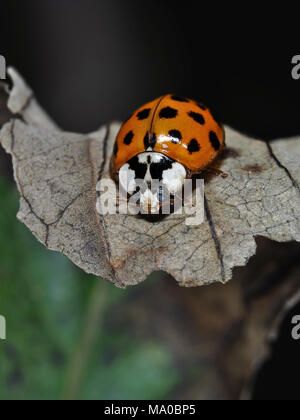 Asian ladybeetle (Harmonia axyridis) on a leaf, close-up view - Stock Photo