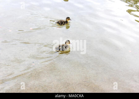 Baby ducks swimming in a lake, young duck, young mallard - Stock Photo
