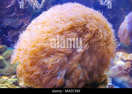Sea anemone, beautiful colored sea anemone under water in the deep see, snorkeling - Stock Photo