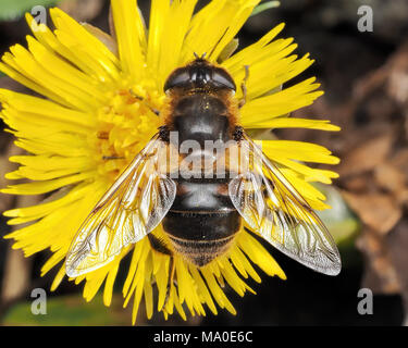 Dorsal view of Hoverfly or Common Drone-fly (Eristalis tenax) on Coltsfoot wildflower. Tipperary, Ireland - Stock Photo
