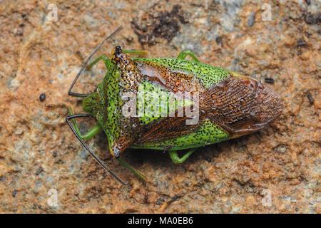 Hawthorn Shieldbug (Acanthosoma haemorrhoidale) hibernating under the cap of a stone wall. Tipperary, Ireland - Stock Photo