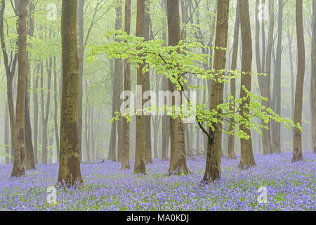 1st of May in a misty Bluebell filled Hampshire wood, the new green leaves on the low bough of a foreground Beech tree give the woodland a fresh feeli - Stock Photo