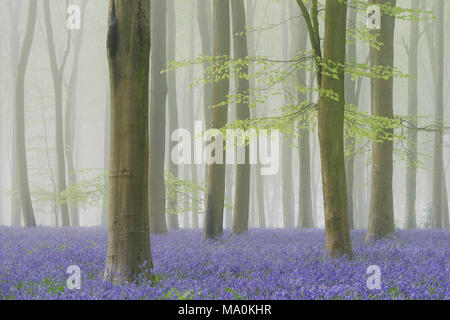 Mist filled beech woodland carpeted with bluebells. - Stock Photo