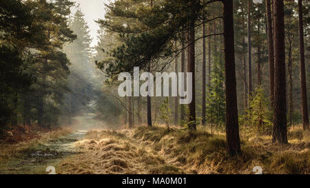Early morning sunshine breaking through the trees in a New Forest inclosure. - Stock Photo