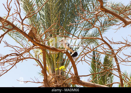Egypt hoopoe in a tree in sunny day. - Stock Photo