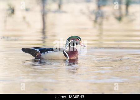 A swimming drake wood duck. - Stock Photo