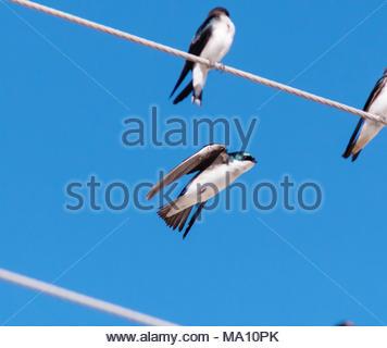 Tree Swallow, Tachycineta bicolor, flying, Arizona US - Stock Photo