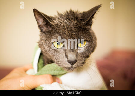 Wet and sad cat after a clean bath wrapped in towel alone - Stock Photo