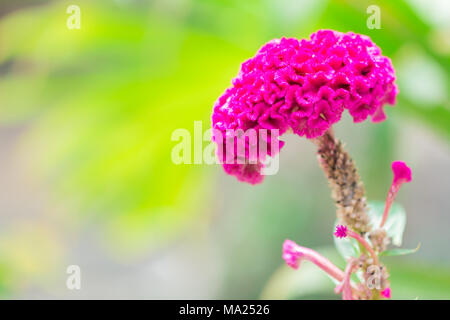 Cockscomb or Chinese Wool Flower - Stock Photo