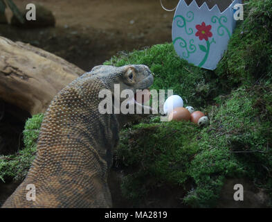 Ganas the Komodo dragon chicken, duck and quail eggs Easter treats at ZSL London Zoo in London. - Stock Photo