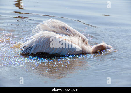 Pelicans are a genus of large water birds that makes up the family Pelecanidae. - Stock Photo
