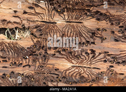 The European spruce bark beetle. Traces of a pest on a tree bark - Stock Photo